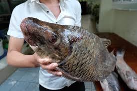 Đánh bắt trái phép 45 kg Cá Mõm Trâu bị phạt bao nhiêu tiền?