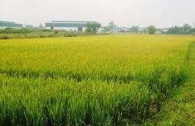Đất trồng lúa có được chuyển đổi sang đất trồng cây lâu năm?
