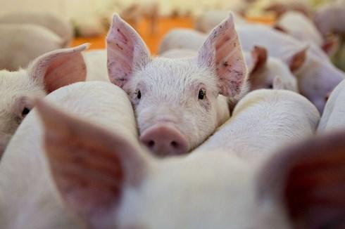 Đưa tin sai lệch về dịch tả lợn châu Phi lên Facebook bị phạt bao nhiêu?