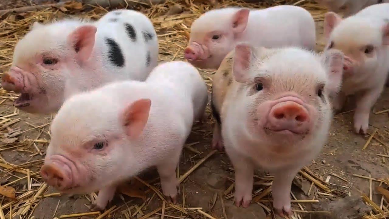 Mua bán giống vật nuôi mới mà chưa có kết quả khảo nghiệm phạt bao nhiêu?