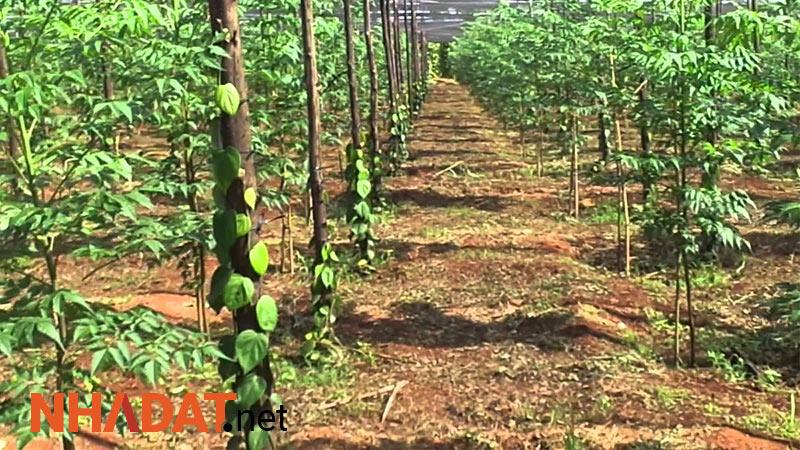Không sử dụng 300m2 đất trồng cây hàng năm 24 tháng liên tục sẽ xử phạt thế nào?
