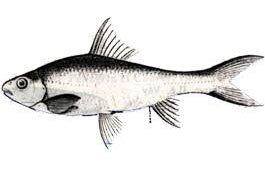 Thời gian nào thì được đánh bắt khai thác Cá Sỉnh gai trong năm?