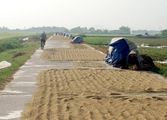 Phạt 300.000 đồng lỗi phơi lúa trên đường bộ có đúng quy định không?