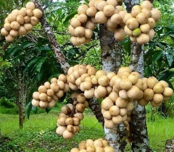 Cây ăn quả lâu năm được chứng nhận quyền sở hữu phải có những đặc tính nào?