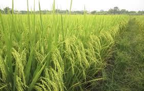 Thủ tục cấp chứng chỉ hành nghề dịch vụ đại diện quyền đối với giống cây trồng